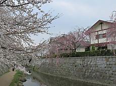 2013sakura14