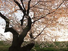 20130328sakura06