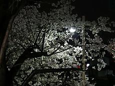 20130328sakura10