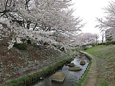 20130330sakura05