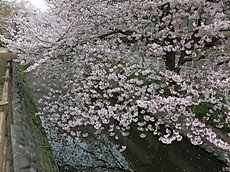 20130330sakura10