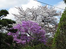 20140406sakura01