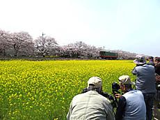 2016sakura_10b