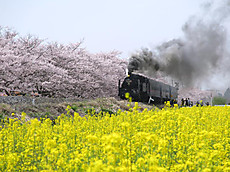 2016sakura_17
