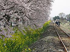 2016sakura_19