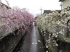 2016sakura_27