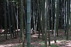Bamboo16