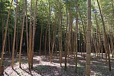 Bamboo18