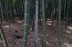 Bamboo20