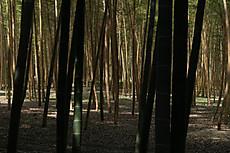 Bamboo22