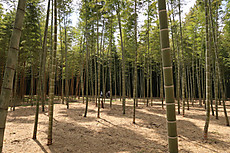Bamboo23