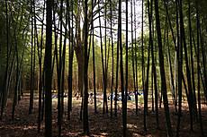 Bamboo24