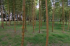Bamboo26