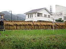 Ricepady20