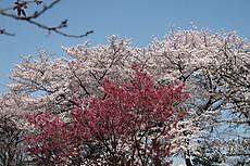 Chidorigafuchi09