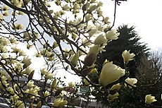 Magnolia_5