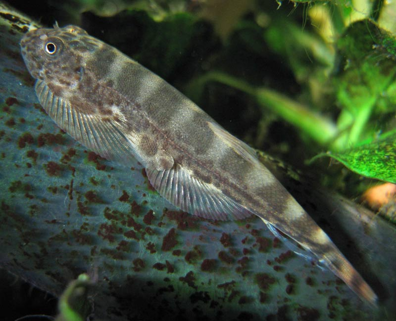 What is this sucker fish loaches online forum for Freshwater sucker fish