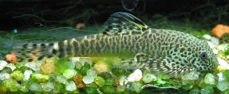 Картинки по запросу Pseudogastromyzon lianjiangensis