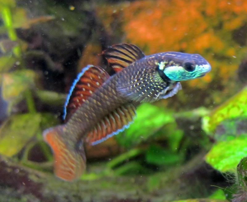 Reproduction Stiphodon rainbow Niziiro101