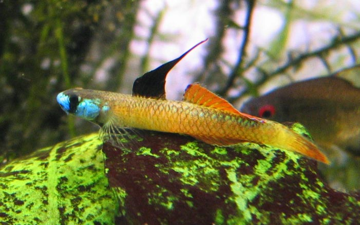 Stiphodon genus of the goby page 11 loaches online forum for Freshwater goby fish